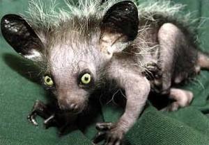 Lemur Ksukol